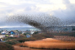 "image ""Starlings Roosting, Marazion"" by Tony Armstrong check out his other photos at http://www.tonyarmstrongphotography.co.uk/"