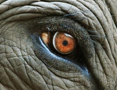 elephant-eye-with-tear